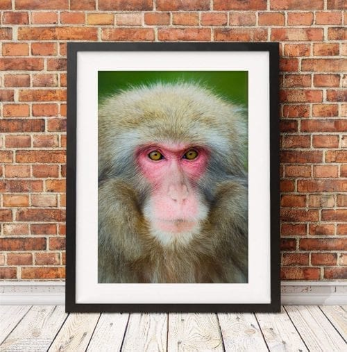 Japanese Snow Monkey, Japan travel photography